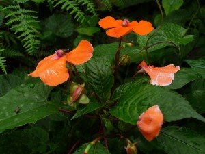 Flowers in Mazumbai forest1